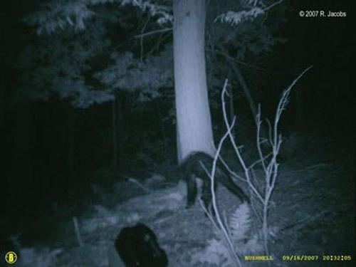 Между тем в Комиссии по охоте штата Пенсильвания скептически относятся к сделанным снимкам...