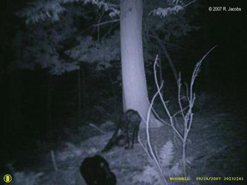 Представитель Комиссии Джерри Физер с уверенностью заявил, что заснятое существо похоже на медведя, которых сотрудники комиссии регулярно отлавливают и помечают...
