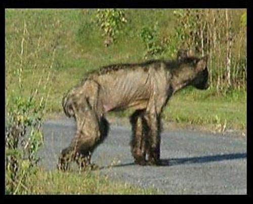 """""""Нет никакого сомнения, что это медведь, только серьезно больной чесоткой"""", - сказал Физер..."""