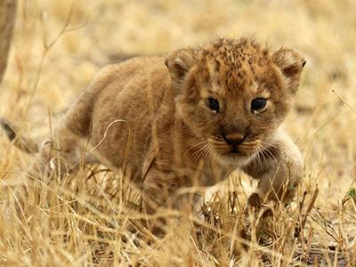 Львёнок гуляет по национальному парку Серенгети в Танзании. (Noor Khamis/Reuters)