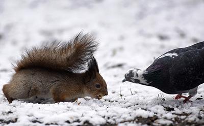 Белка и голубь борются за угощение после снегопада в парке в Минске, Беларусь. (Sergei Grits/Associated Press)