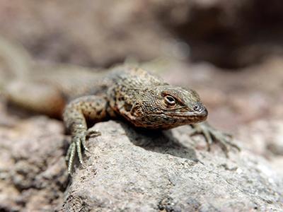 Ящерица греется на камне на острове Пинсон, Галапагосские острова, Эквадор. (Dolores Ochoa/Associated Press)