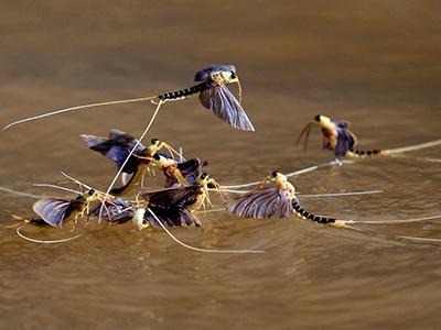Подёнки вида палингения длиннохвостая спариваются над поверхностью реки Тиса в Венгрии. (Laszlo Balogh/Reuters)