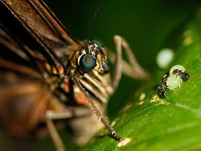 Муравьи окружили одно из яиц, отложенных бабочкой Морфо Пелеида, в саду бабочек в Коста-Рике. (Juan Carlos Ulate/Reuters)