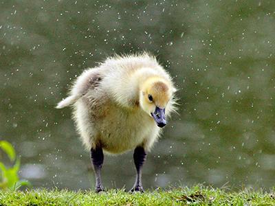 Гусёнок ищет корм под дождём в парке в Мидлтауне, штат Нью-Йорк. (Tom Bushey/Times Herald-Record via Associated Press)