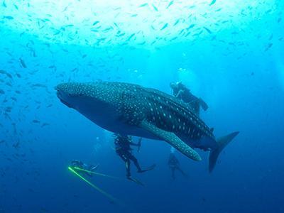 Китовая акула проплывает возле дайверов на Галапагосских островах. (Jonathan Green/Galapagos National Park via Reuters)