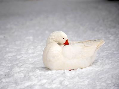 Гусь лежит на снегу в Скопьеском зоопарке в Македонии. (Ognen Teofilovski/Reuters)