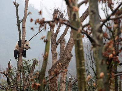 Гигантская панда сидит на дереве в центре разведения панд в городе Дуцзянъянь, Китай. (China Daily/Reuters)
