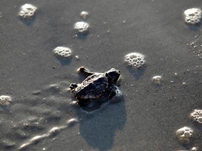 Детёныш головастой морской черепахи ползёт к линии прибоя в Парке штата Миртл Бич в Миртл-Бич, Южная Каролина. (Randall Hill/Reuters) /По материалам bigpicture.ru/