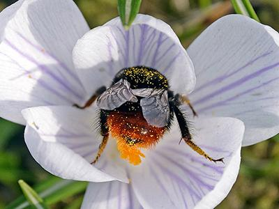 Шмель собирает пыльцу на цветке крокуса в первый весенний день в Гельзенкирхене, Германия. (Martin Meissner/Associated Press)