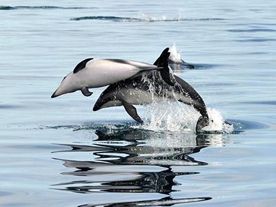 Дельфины выпрыгивают из воды у берегов города Пуэрто-Мадрин, Аргентина. (Maxi Jonas/Reuters)