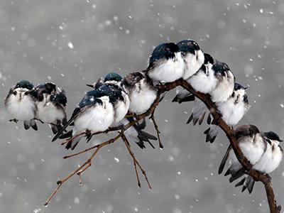 Птицы сидят на ветке во время снегопада в Пемброке, штат Нью-Йорк. (David Duprey/Associated Press)