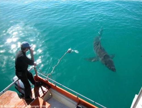 Арнольд Поинтер, рыбак из южной Австралии два года назад спас от смерти, освободив из сети и отпустив самку белой акулы…